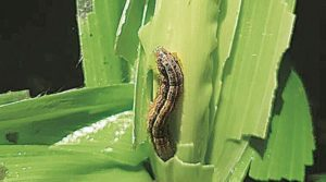 Fall Armyworm larva feeding on maize crop.
