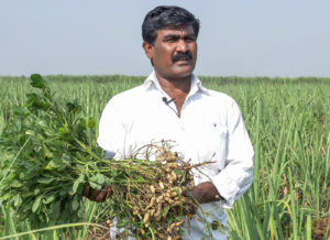 Tukaram Maruthi Kadam, a farmer in Maharashtra's Sangli, holds aloft a harvested ICGV 03043 plant. Photo: PS Rao, ICRISAT