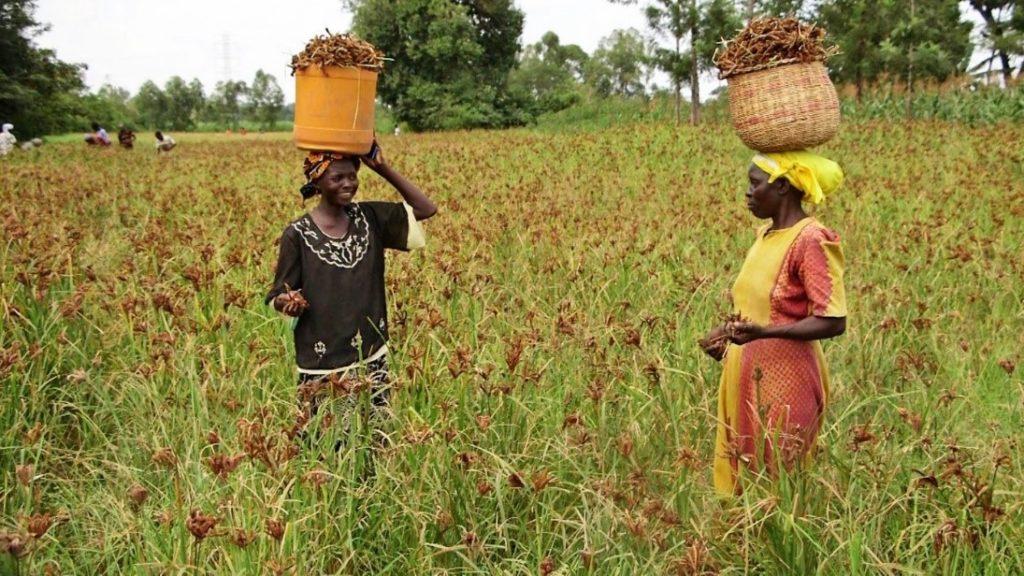 Women farmers in finger millet field.