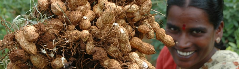 Groundnut – rich in protein, edible oil, essential nutrients and antioxidents. Photo L. Vidyasagar, ICRISAT