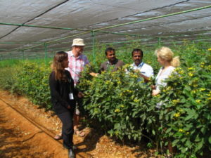 Pigeon pea (Cajanus) varieties and genotypes are multiplied under net cover. From the left Head of Gene Bank Vania Azevedo, ICRISAT, Åsmund Asdal, Svalbard Global Seed Vault/NordGen, Senior Scientist Mani Vetriventhan, ICRISAT, Gene Bank manager Senthil Ramachandran, ICRISAT and NordGen director Lise Lykke Steffensen. There are 13321 accessions of pigeon pea deposited in the Seed Vault. Most of them belong to ICRISAT.