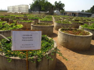 The ICRISAT wild groundnut collection is conserved as living plants in concrete cylinders, needed for avoiding runners from mixing and causing confusion about purity of species and genotypes.