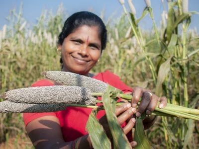Pearl millet is an essential food crop for millions in Asia and Africa. Crop Trust and ICRISAT are working with wild varieties to improve domestic pearl millet. Photo: PS Rao, ICRISAT