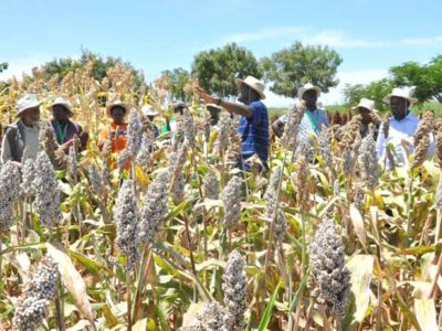 Sorghum field at Kiboko Farm, Kenya. Photo: E Manyasa, ICRISAT