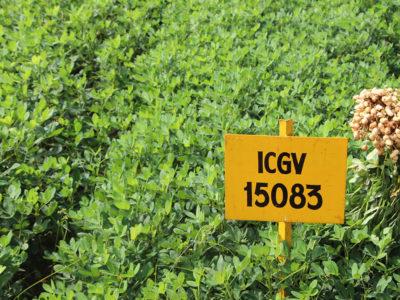 Girnar 4 (ICGV 15083) variety.