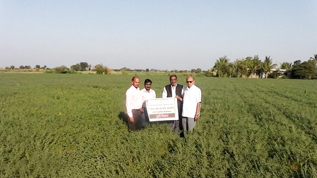 Seed production plot of machine harvestable chickpea variety Phule Vikram at MPKV, Rahuri.