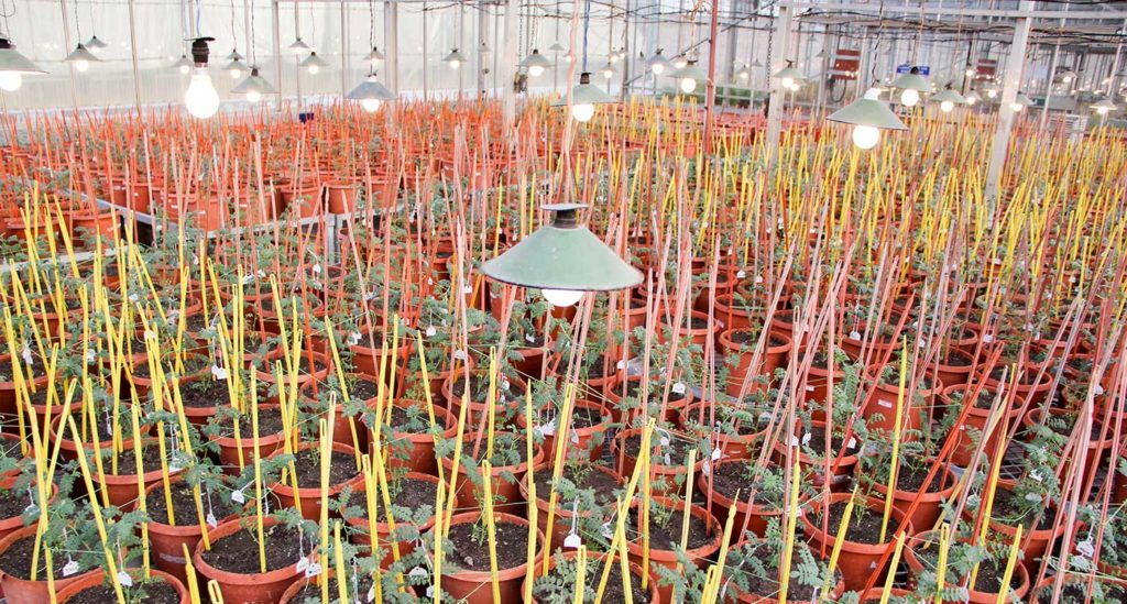 Chickpea plants grown through RGA in a glasshouse at ICRISAT. Photo: Srinivasan Samineni, ICRISAT