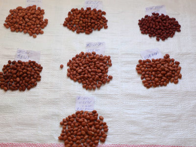 The seven improved groundnut varieties in the regional catalog. Photo: M Magassa, ICRISAT