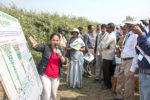 Dr Shivali Sharma, Theme Leader, Pre-breeding, ICRISAT, explains how pre-breeding forms a critical link between genebanks and crop improvement programs in pigeonpea pre-breeding field during the Pigeonpea Field Day. Photo: S Punna, ICRISAT