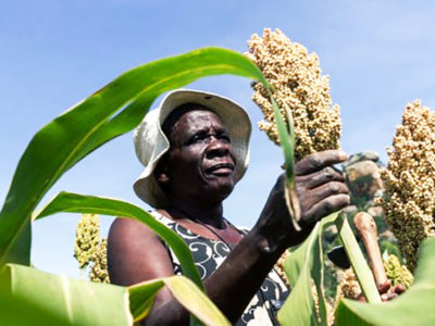 A sorghum farmer inspects her small grains crop thriving in the dry conditions in March in the Mutoko rural area of Zimbabwe. Photo:AFP