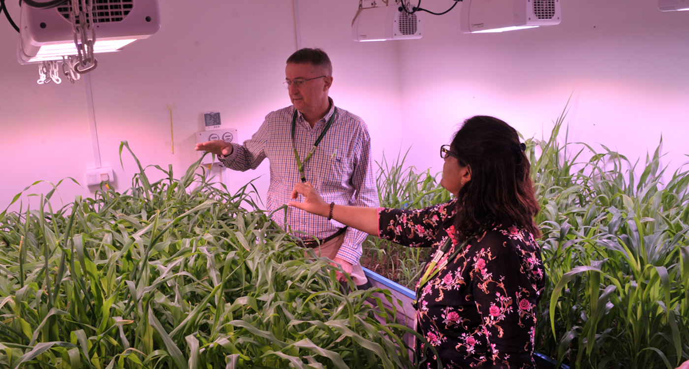 Dr Peter Carberry and Dr Pooja Bhatnagar discussing plant growth in one of the testing bed facilities. Seen are sorghum and pearl millet plants.