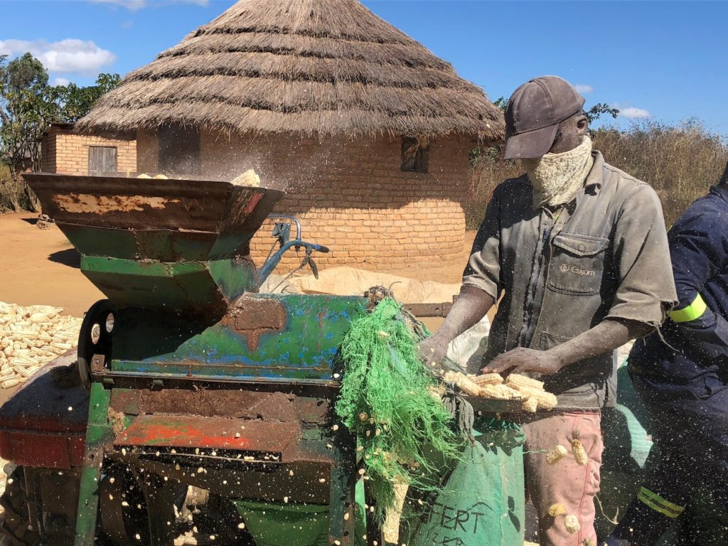 Masimba Mawire collects bare maize cobs after removing the grain using a mechanized maize sheller in Zimbabwe. Photo: Matthew O'Leary, CIMMYT