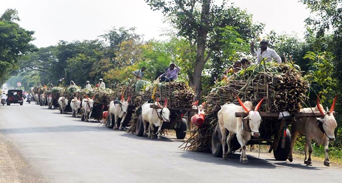 Bullock-carts loaded with sugarcanes on their way to the Sahyadri Sugar Factory during the sugarcane crushing season, in Karad, Maharashtra. Photo: PTI