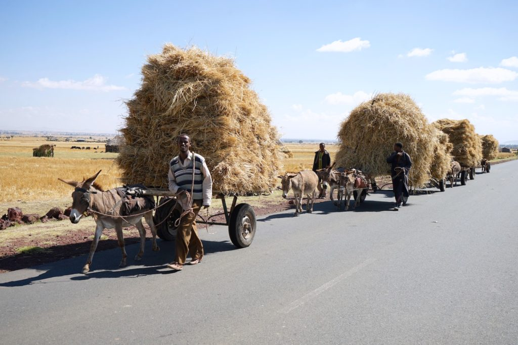 Men transport wheat straw on donkey karts in Ethiopia's Dodula district. Photo: Peter Lowe, CIMMYT