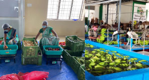 Left: Vegetable packing at Palacode Primary Processing Center (PPC), Krishnagiri district, Tamil Nadu Right: Banana cleaning and packing at Cumbum PPC, Theni district, Tamil Nadu.