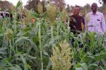 Dr Baloua Nebie and Mr Leon Badiara in a ratooning field of Soubatimi in post-rainy season. Photo: M Nitiema, INERA
