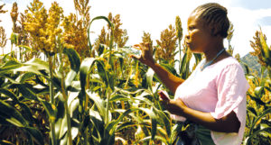 Farmers like Elinati Mbewe from Dedza will see their sorghum productivity increase, as a result of the new varieties. Photo, ICRISAT