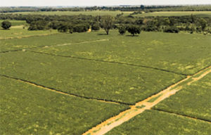 Aerial view of groundnut breeder seed at Kakuyu farm, a private enterprise. Photo: ICRISAT-Malawi