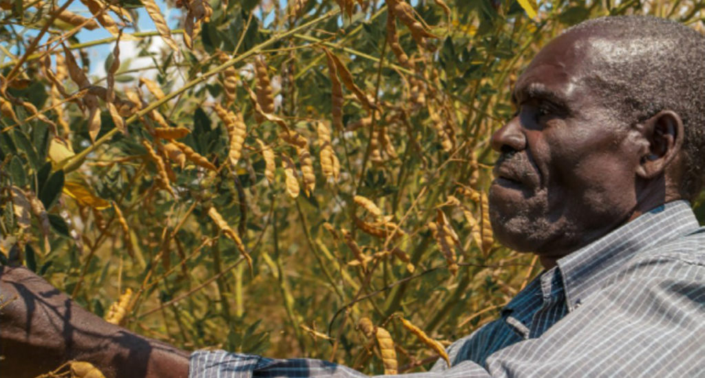 Peter Mwangofi tending his pigeonpea crop. Photo: ICRISAT, Malawi