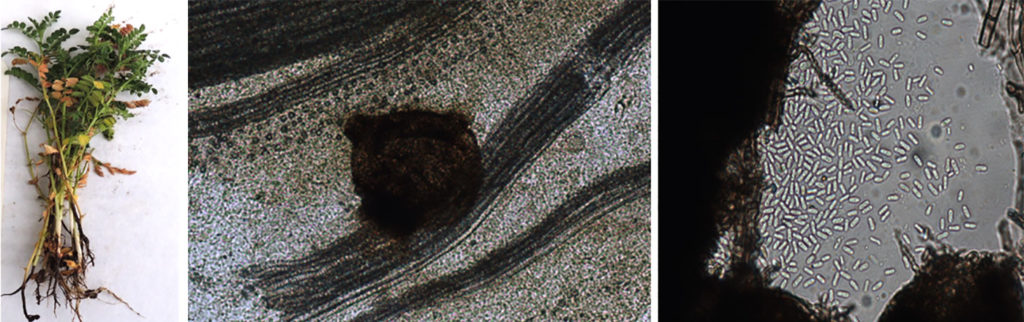 (L-R) Root Rot Symptoms, Pycnidia on host tissue and colony containing conidia. Photo: ICRISAT