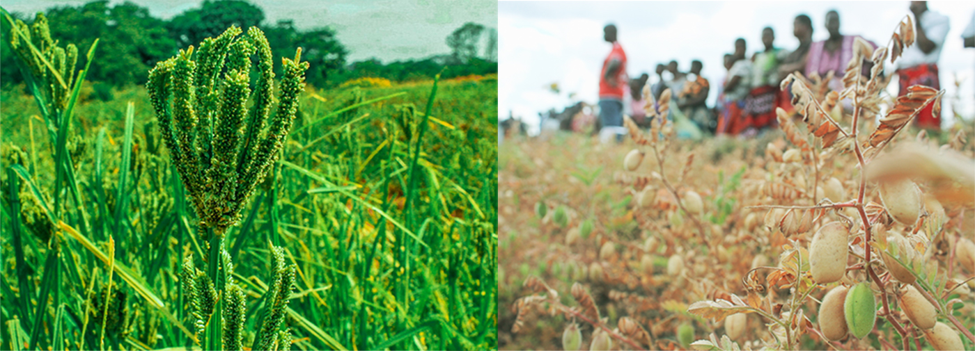 (L) Finger millet on-station trial at Chitedze research station. (R) On-farm chickpea trial in Phalombe district. Photo: ICRISAT-Malawi