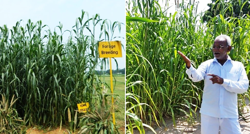 Forage variety pearl millet on the research field (left) and farmer's field (right). Photo: ICRISAT