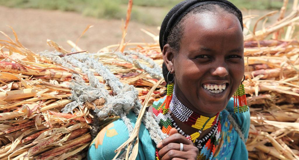 Crop residue for fuel wood and fattening (IPMS-Mi'eso) – Mirab Hararghe Zone of the Oromia Region, Ethiopia. Photo: A Habtamu, ILRI