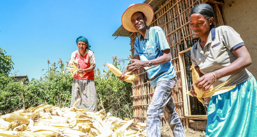 Usman Kadir and his family are growing maize and wheat varieties suitable for drought- and disease-affected areas in Ethiopia. Photo: A Habtamu, ILRI