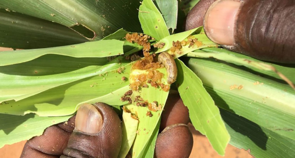 Fall armyworm feeding on sorghum in Niger. Photo: ICRISAT