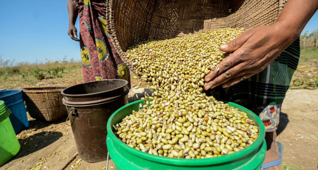 Africa's exposure to climate change, Covid-19 and volatile global commodity markets is increasing the risk of hunger and unrest. Can investments in the domestic production of food legumes like chickpea and soybean help? Photo: ICRISAT