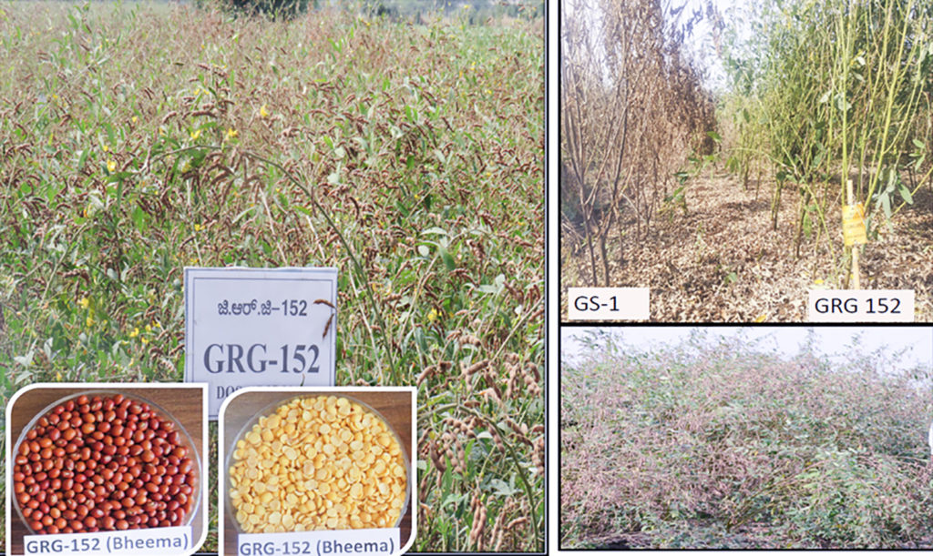 Bheema (GRG-152), a high-yielding disease-resistant variety released for cultivation in central zone of India. The images depict field view, seed color, dhal color and the variety's superiority when under disease pressure. Photo: S Muniswamy, ZARS-Kalaburagi