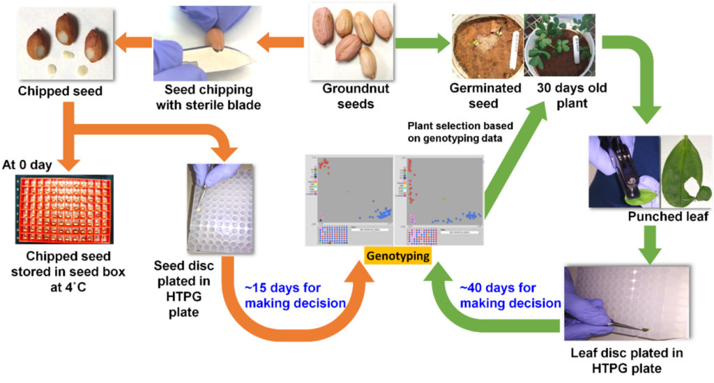 Flowchart showing comparison of seed-based genotyping (orange arrows) and leaf-based genotyping (green arrow).