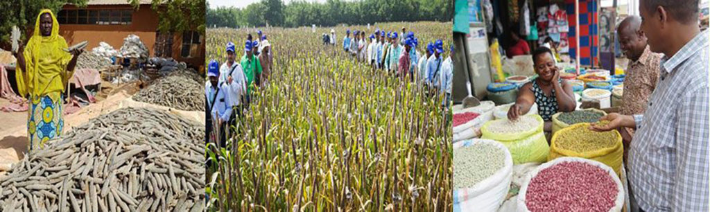 (L-R) Biofortified pearl millet, field visit of Hybrid Parents Research Consortium and iron-rich beans. Collage by GLDC, ICRISAT