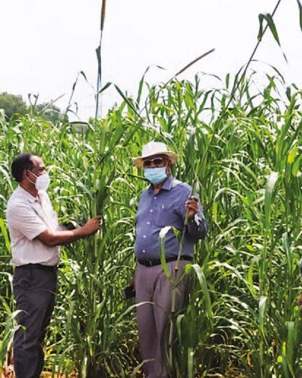 Dr SK Gupta briefs visitors on high-biomass pearl millet. Photo: ICRISAT