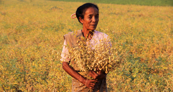 ICRISAT is working on developing climate resilient lines of chickpea with resistance to extreme weather conditions such as drought, high temperature and salinity. Photo: PM Gaur, ICRISAT